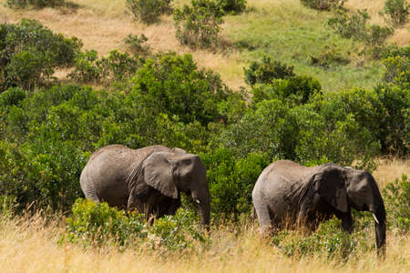 the mara: masai mara elephants Stock Photo