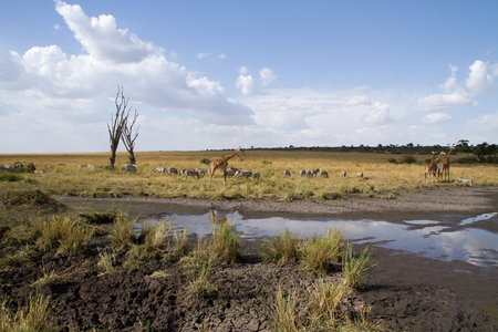 masai mara during the migration season Stock Photo