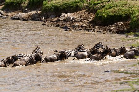 masai mara crossing during migration