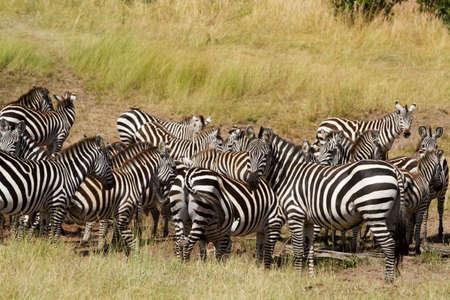 the mara: masai mara zebras