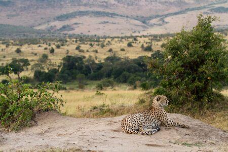 the mara: masai mara cheetha