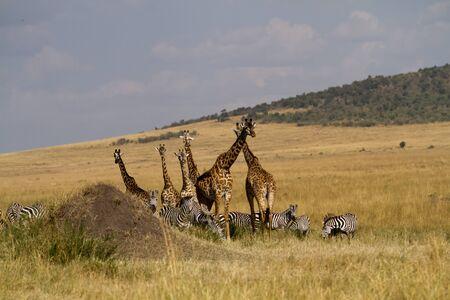 the mara: masai mara giraffes Stock Photo