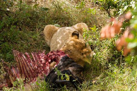 the mara: masai mara lion eating Stock Photo