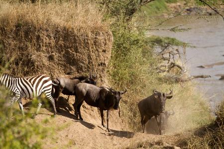 migration: migration season in the masai mara Stock Photo