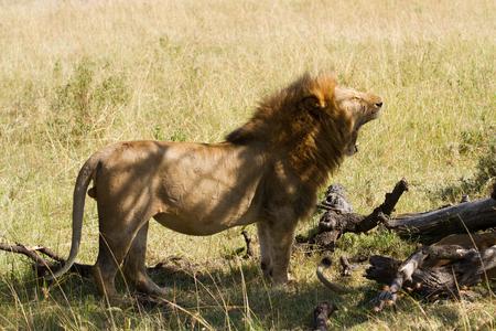 the mara: masai mara lion