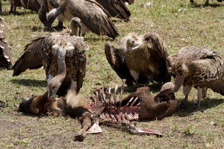 the mara: masai mara vultures eating