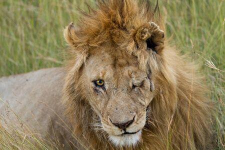 the mara: masai mara blind lion