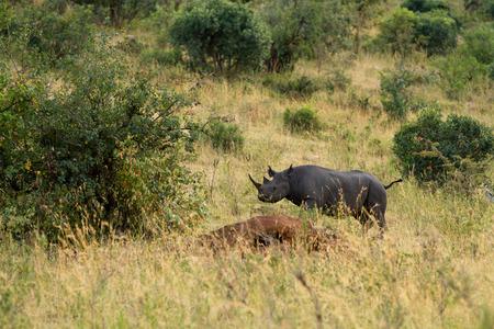 the mara: masai mara rhino Stock Photo