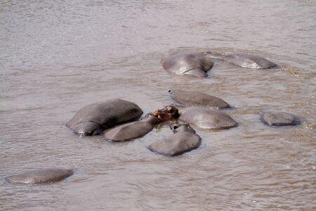 the mara: masai mara hippos