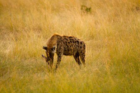 the mara: masai mara hyena