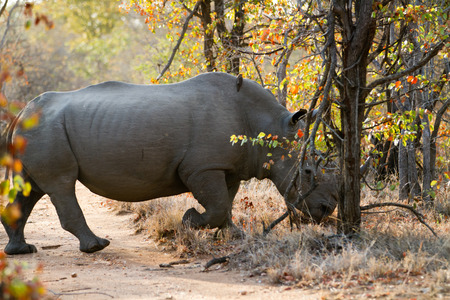 kruger: rhino walking alone in the bush of kruger national park Stock Photo