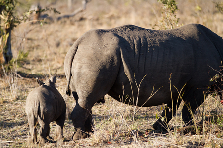 white rhino and her cub walking in the plains of the kruger national park Stock Photo