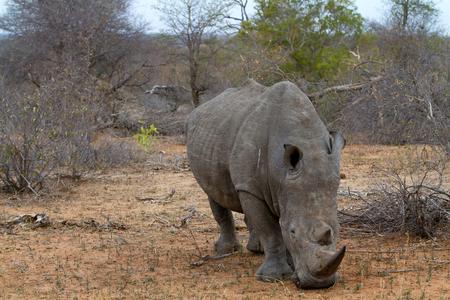 northern african: rhino walking free in savannah Stock Photo