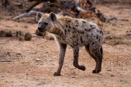 hienas: hiena caminando en la selva del Parque Nacional Kruger Foto de archivo