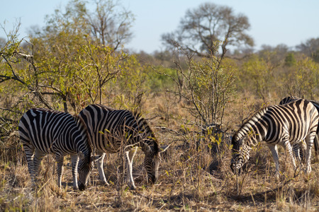 herbivors in the savannah of kruger national park