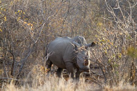 walking alone: rhino walking alone in the bush of kruger national park Stock Photo