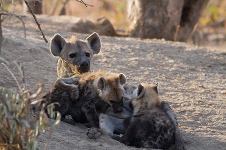 hyena: hyena suckling the cubs in the kruger national park