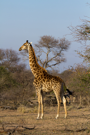 giraffes in the kruger national park