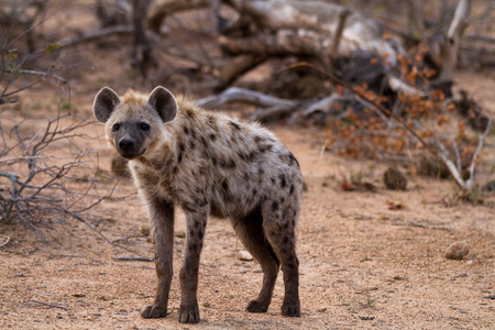 scavenger: hyena walking in the bush of kruger national park Stock Photo