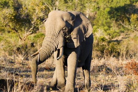 elephant drinking and eating in the kruger national park Stock Photo