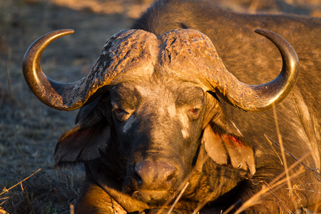 buffalos in the kruger national park Stock Photo