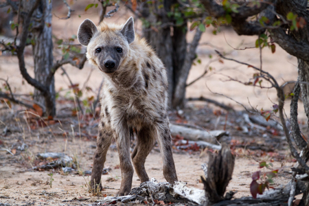 hienas: hyena walking in the bush of kruger national park Foto de archivo