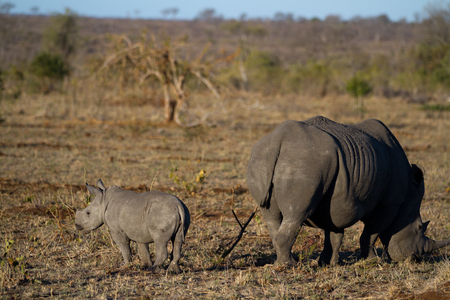 white rhino and her cub strolling in the kruger park