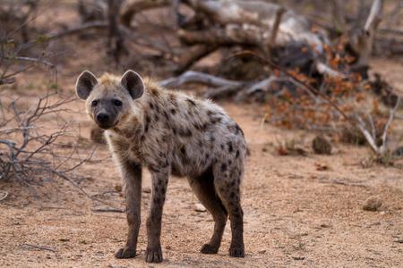 hienas: hyena walking in the bush of kruger national park Foto de archivo