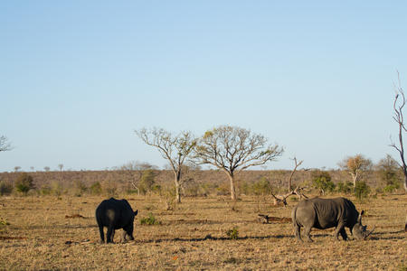 rhinos walking in the plains of the kruger national park