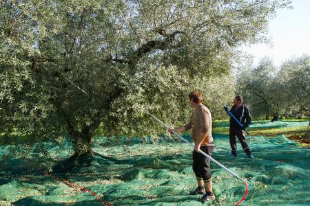 olive picking during the harvesting season