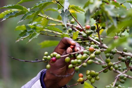 koffieplantage bij Kilimanjaro-berg