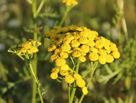 Common tansy is a perennial herb of the Astrovye family of the Tansy genus.