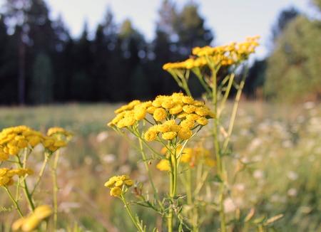 Wrotycz pospolity to wieloletnie zioło z rodziny Astrovye z rodzaju Tansy. Zdjęcie Seryjne