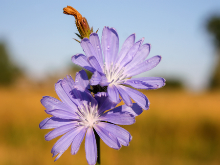Blue flowers of chicory ordinary in a field close up