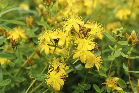 Yellow flowers of Hypericum ordinary in the summer in the village