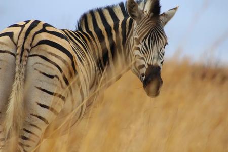 zebra face: zebra face close up  Stock Photo
