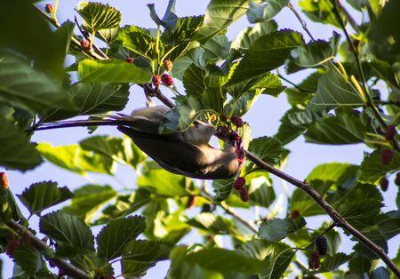 vegtables: Bird eating fruit
