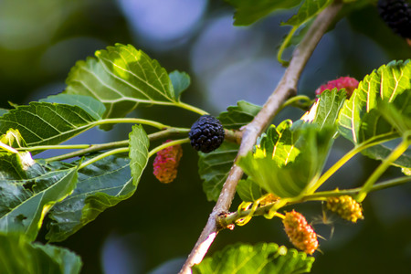 vegtables: Mulberry