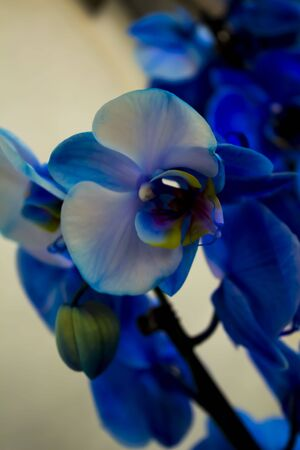 blue orchid: Blue Orchid