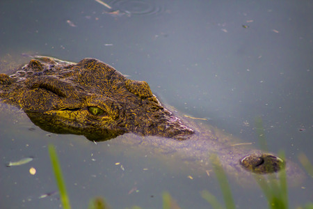 alligator eyes: Female Crocodile head on the hunt