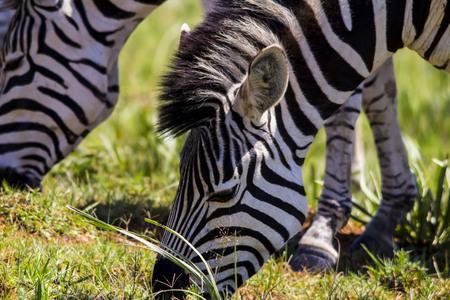 face close up: Zebra Face close up Stock Photo