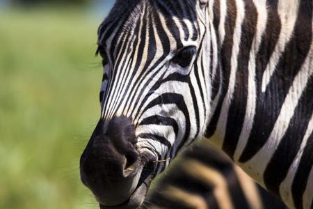 zebra face: Zebra Face Close up