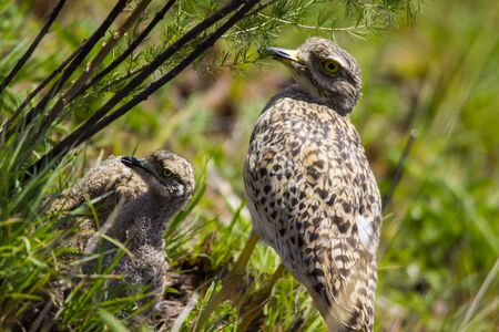 spotted: Spotted Dikkop Burhninus capensis