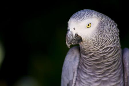 african grey parrot: African Grey Parrot Close-up