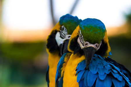 squawk: Pair of Blue and Gold Macaws grooming