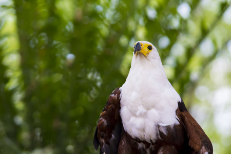 a large bird of prey: Fish Eagle