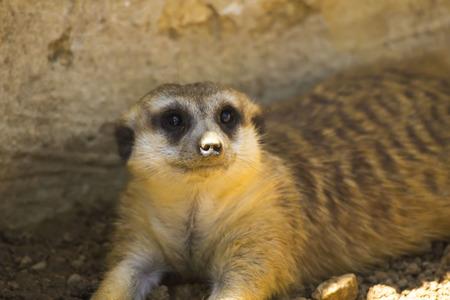 suricata suricatta: Meerkat Suricata suricatta