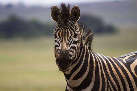 zebra face: Zebra face with stripes close up