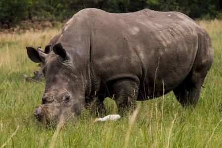 poaching: Rhino with no horn feeding Stock Photo