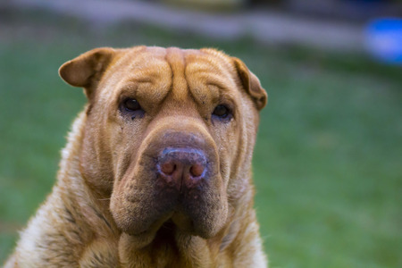 sharpei: Sharpei dog breed starrring, portrait Stock Photo